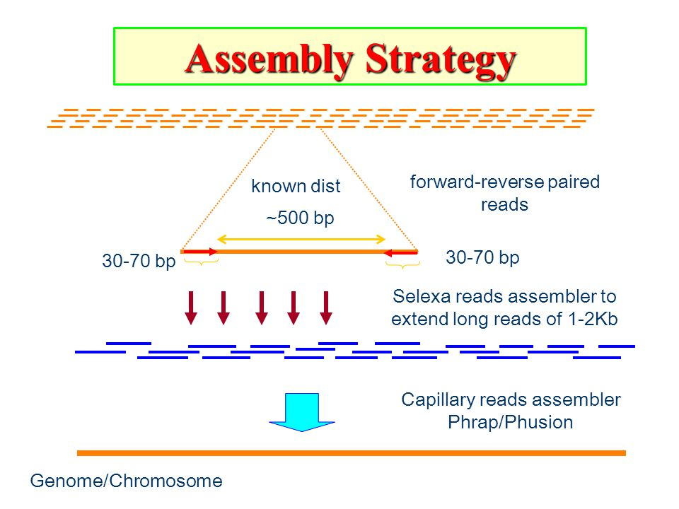 Assembly Strategy Selexa reads assembler to extend long reads of 1-2Kb Genome/Chromosome Capillary reads assembler Phrap/Phusion forward-reverse paired reads 30-70 bp known dist ~500 bp 30-70 bp