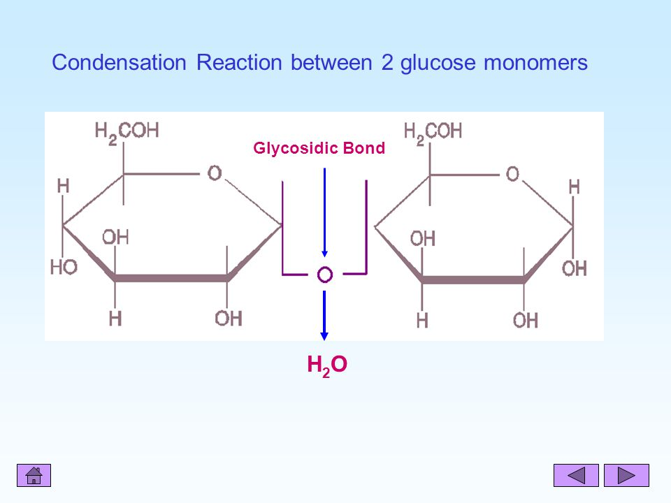H2OH2O Glycosidic Bond Condensation Reaction between 2 glucose monomers