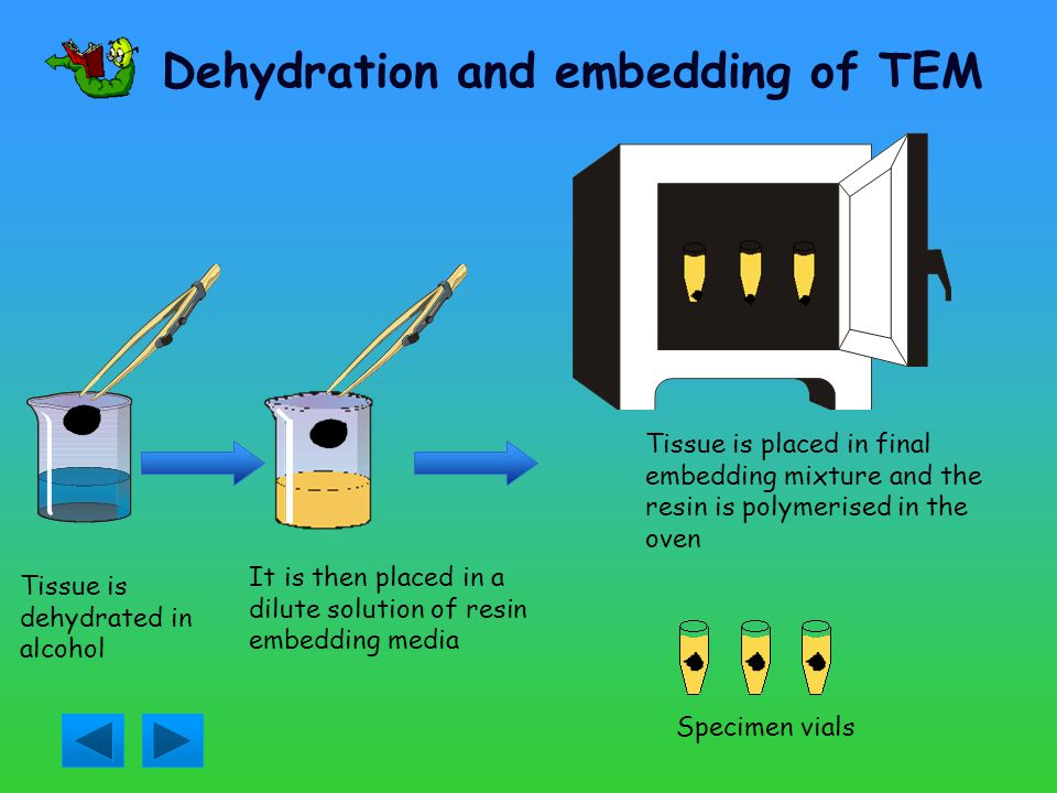 Fixation for TEM The tissue is cut into tiny pieces It is then placed into fixing solution