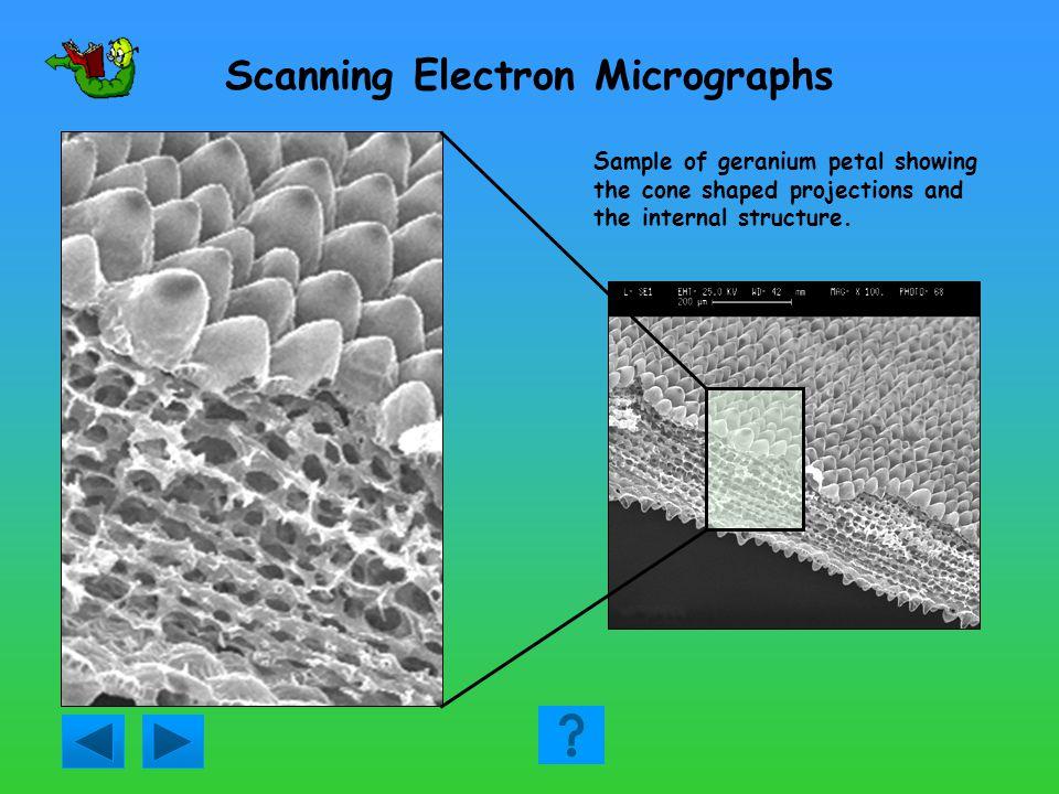 Transmission Electron Micrographs Mitochondrion Plasma membrane Endoplasmic reticulum Golgi membranes Virus particles Section of mammalian cell
