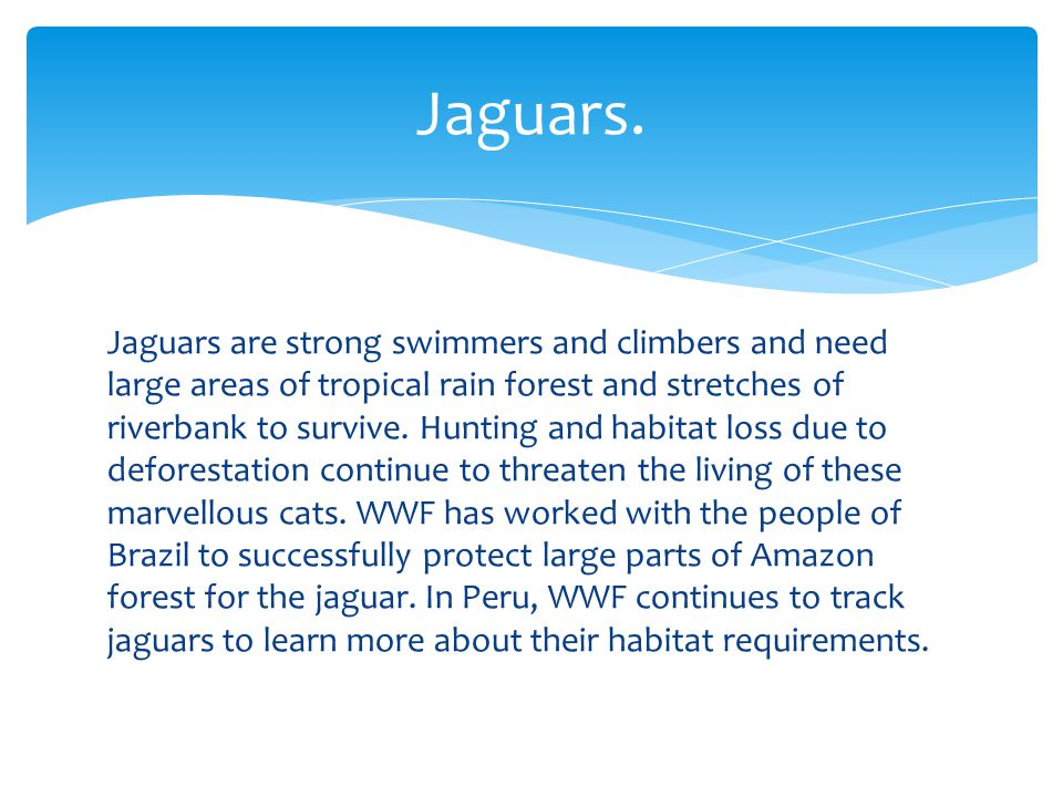 Jaguars are strong swimmers and climbers and need large areas of tropical rain forest and stretches of riverbank to survive.