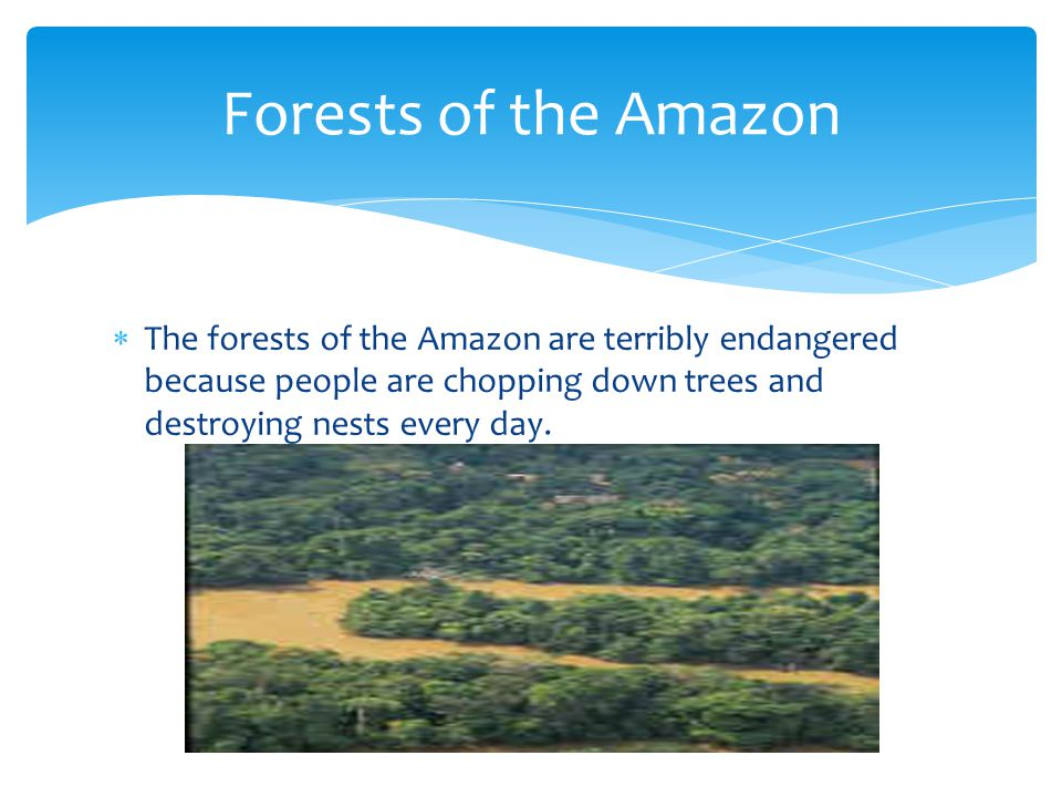  The forests of the Amazon are terribly endangered because people are chopping down trees and destroying nests every day.