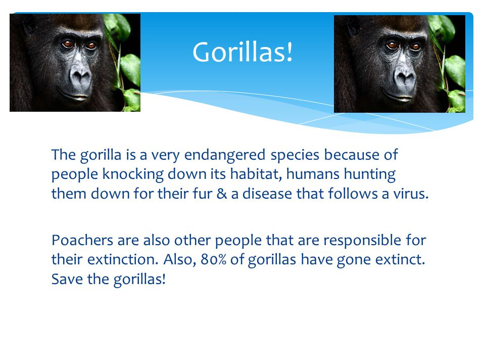 The gorilla is a very endangered species because of people knocking down its habitat, humans hunting them down for their fur & a disease that follows a virus.
