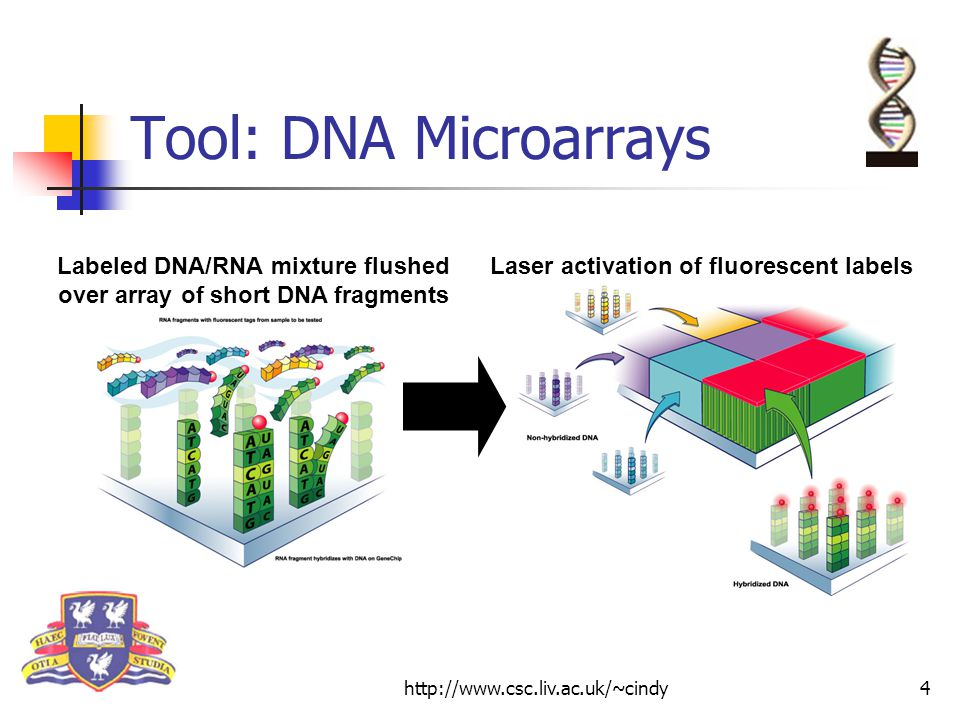 http://www.csc.liv.ac.uk/~cindy4 Tool: DNA Microarrays Labeled DNA/RNA mixture flushed over array of short DNA fragments Laser activation of fluorescent labels