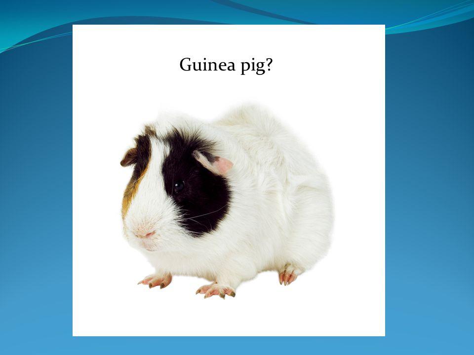 GuineaGuinea pig