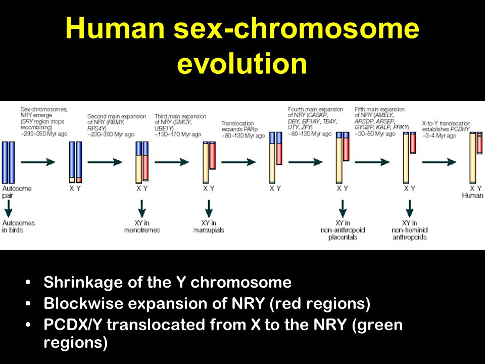 Human sex-chromosome evolution Shrinkage of the Y chromosome Blockwise expansion of NRY (red regions) PCDX/Y translocated from X to the NRY (green regions)