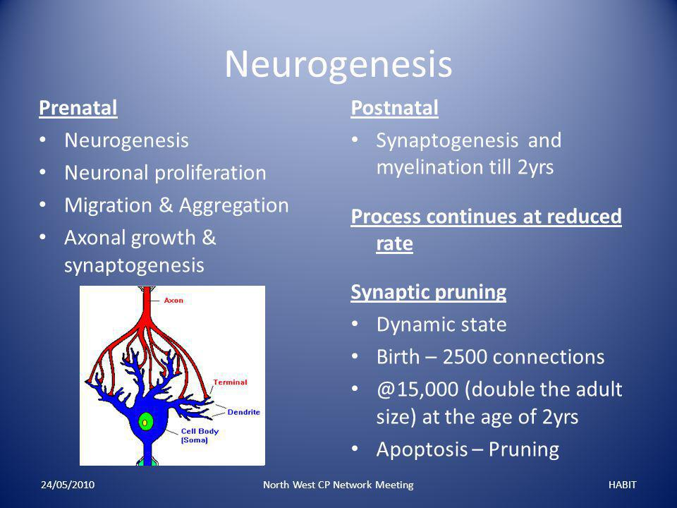 Neurogenesis Prenatal Neurogenesis Neuronal proliferation Migration & Aggregation Axonal growth & synaptogenesis 24/05/2010North West CP Network MeetingHABIT Postnatal Synaptogenesis and myelination till 2yrs Process continues at reduced rate Synaptic pruning Dynamic state Birth – 2500 connections @15,000 (double the adult size) at the age of 2yrs Apoptosis – Pruning