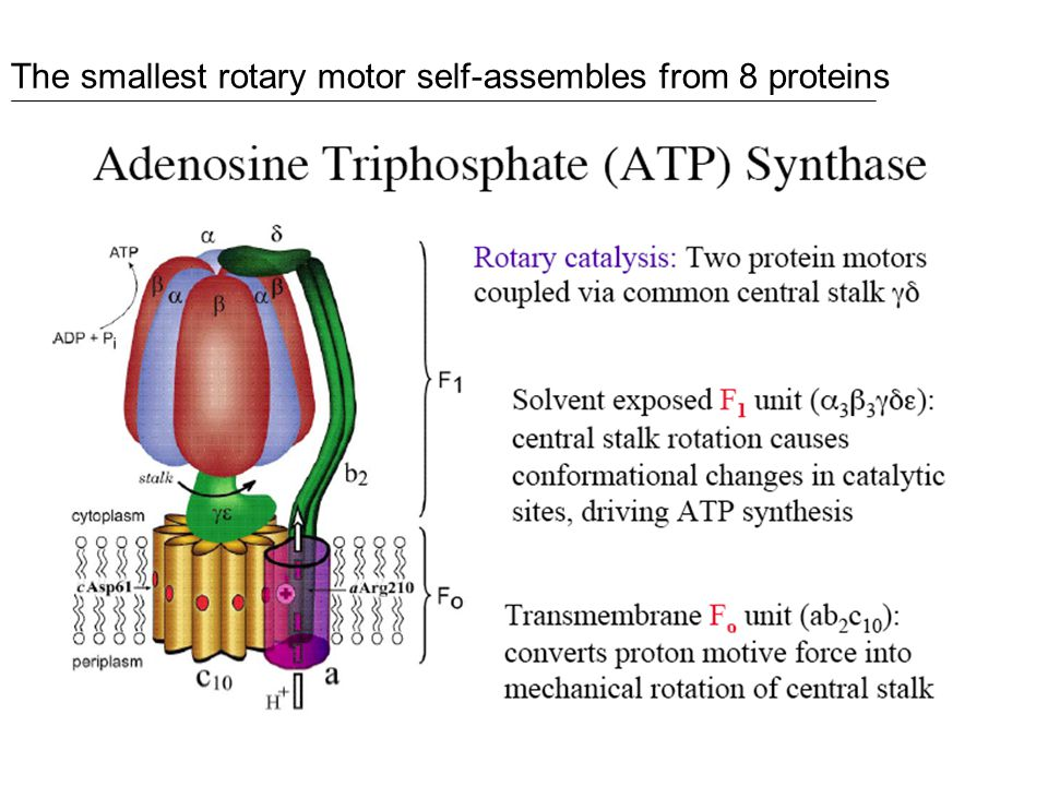 The smallest rotary motor self-assembles from 8 proteins