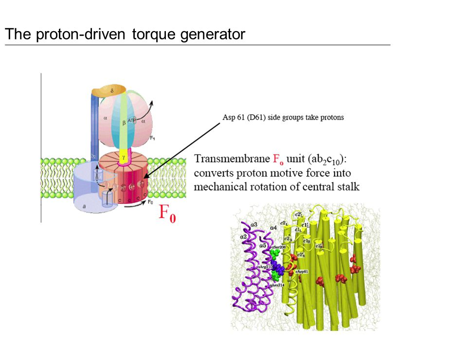 The proton-driven torque generator