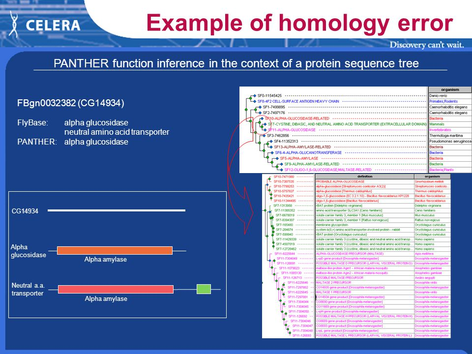 PANTHER function inference in the context of a protein sequence tree FBgn (CG14934) FlyBase: alpha glucosidase neutral amino acid transporter PANTHER:alpha glucosidase CG14934 Alpha glucosidase Neutral a.a.