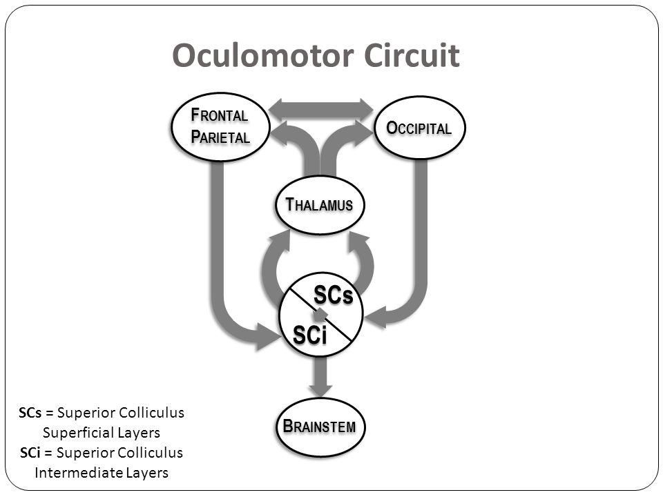 Oculomotor Circuit SCs = Superior Colliculus Superficial Layers SCi = Superior Colliculus Intermediate Layers F RONTAL P ARIETAL F RONTAL P ARIETAL B RAINSTEM O CCIPITAL T HALAMUS SCs SCi
