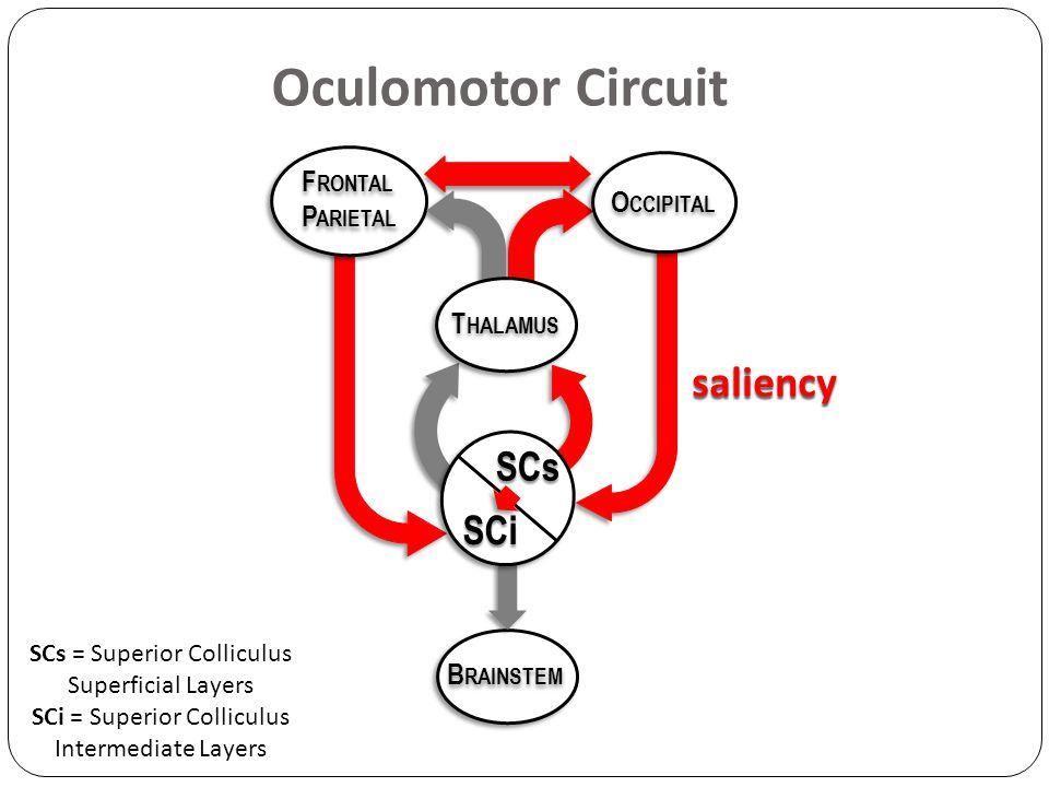 Oculomotor Circuit SCs = Superior Colliculus Superficial Layers SCi = Superior Colliculus Intermediate Layers F RONTAL P ARIETAL F RONTAL P ARIETAL B RAINSTEM O CCIPITAL T HALAMUS saliency SCs SCi