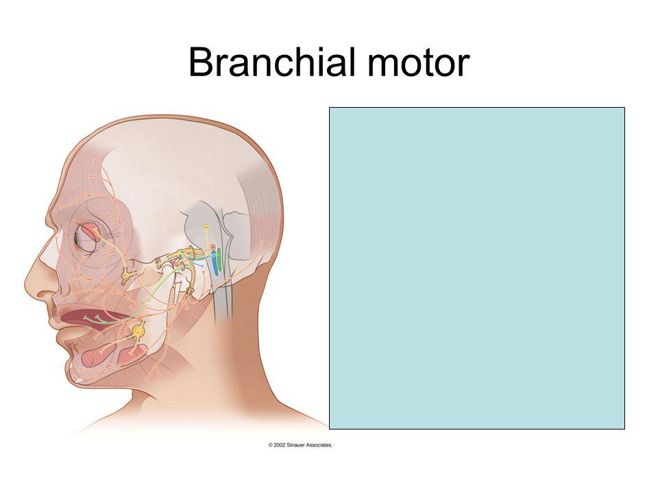 Branchial motor Facial nucleus Facial nerve exits at CPA Traverses internal auditory meatus Turns at genu Exits at stylomastoid foramen Passes through