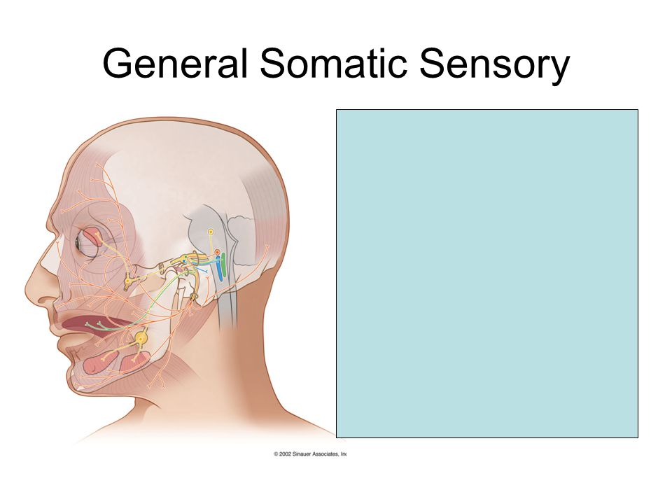 General Somatic Sensory Region near external auditory meatus Synpase in spinal trigeminal nucleus