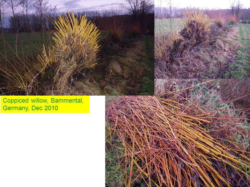 Coppiced willow, Bammental, Germany, Dec 2010