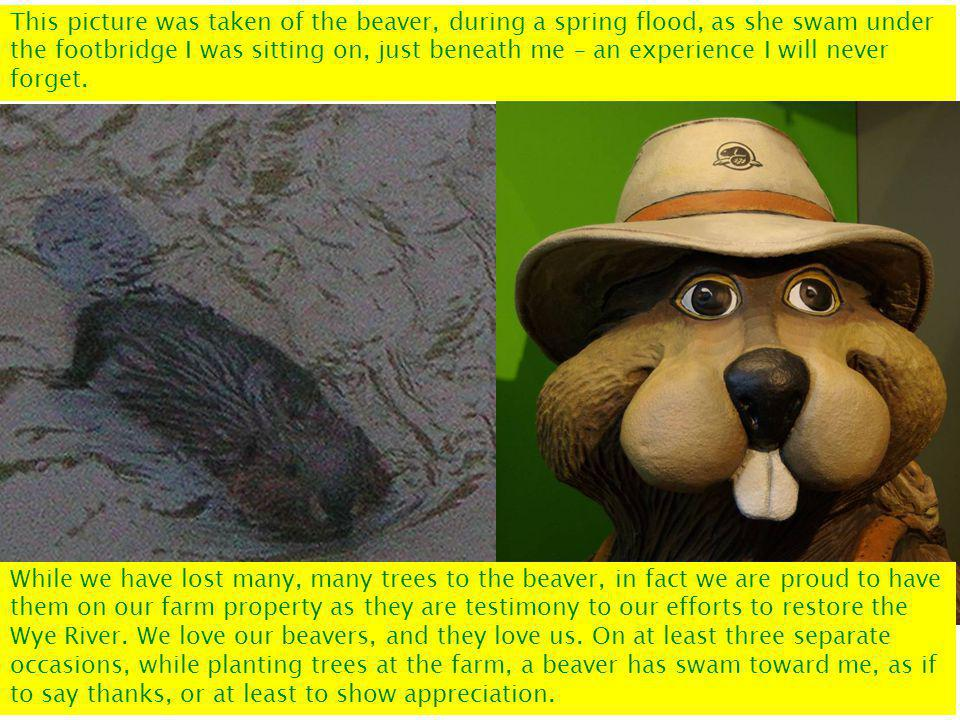 This picture was taken of the beaver, during a spring flood, as she swam under the footbridge I was sitting on, just beneath me – an experience I will never forget.