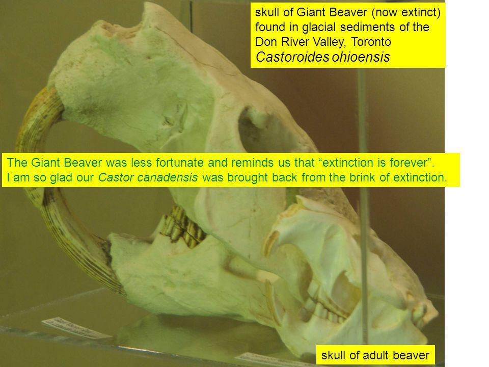 skull of adult beaver skull of Giant Beaver (now extinct) found in glacial sediments of the Don River Valley, Toronto Castoroides ohioensis The Giant Beaver was less fortunate and reminds us that extinction is forever .
