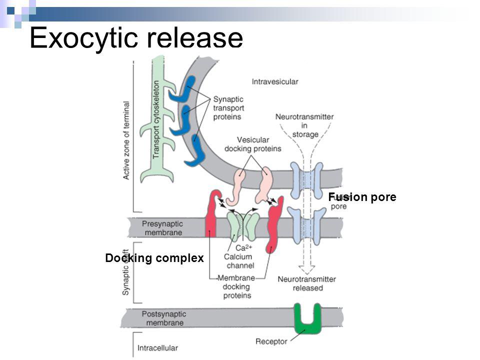 Exocytic release Docking complex Fusion pore
