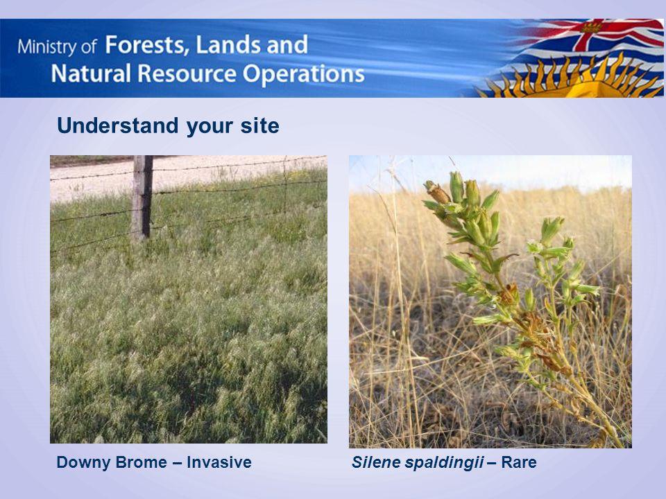 Downy Brome – Invasive Understand your site Silene spaldingii – Rare