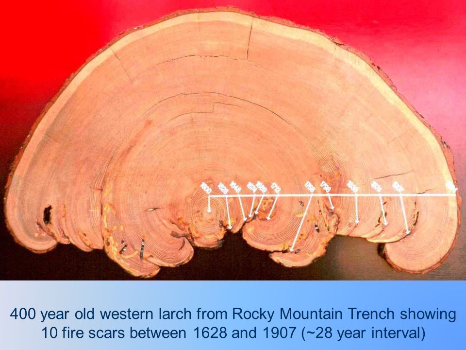 400 year old western larch from Rocky Mountain Trench showing 10 fire scars between 1628 and 1907 (~28 year interval)