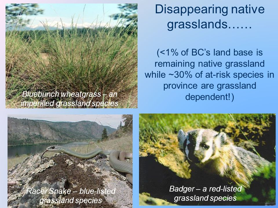 Bluebunch wheatgrass – an imperilled grassland species Badger – a red-listed grassland species Disappearing native grasslands…… (<1% of BC's land base is remaining native grassland while ~30% of at-risk species in province are grassland dependent!) Racer Snake – blue-listed grassland species