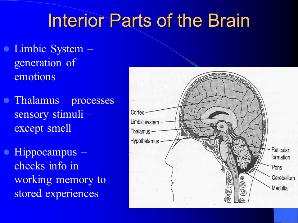Cerebrum Thinking, memory, speech and muscular movement are controlled by areas in the cerebrum.