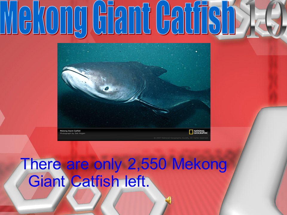There are only 2,550 Mekong Giant Catfish left.