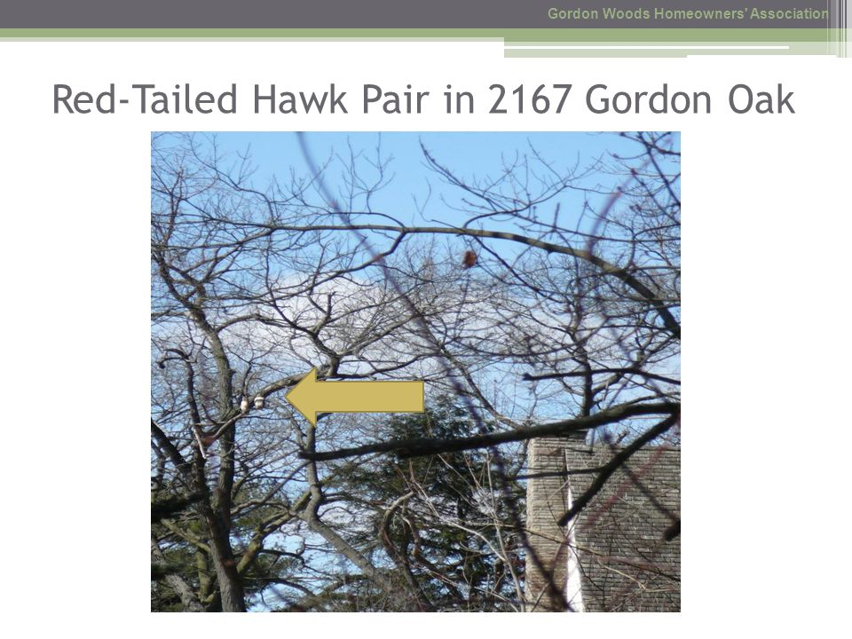 Red-Tailed Hawk Pair in 2167 Gordon Oak Gordon Woods Homeowners Association