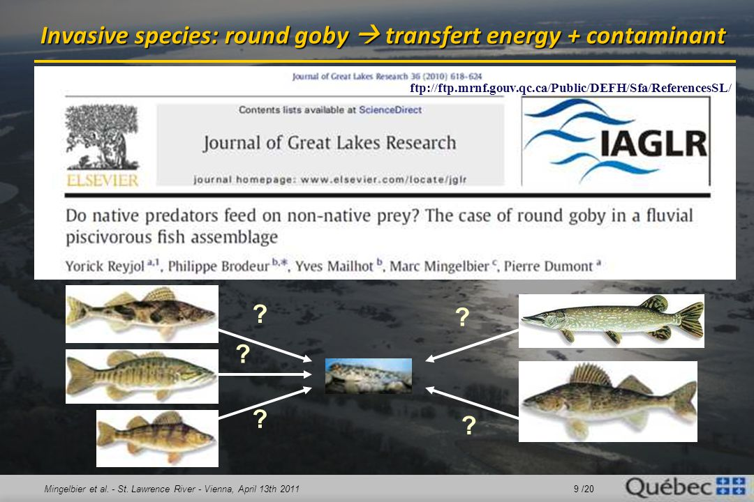 Mingelbier et al. - St. Lawrence River - Vienna, April 13th 2011 9 /20 Invasive species: round goby  transfert energy + contaminant ? ? ? ? ? ftp://f
