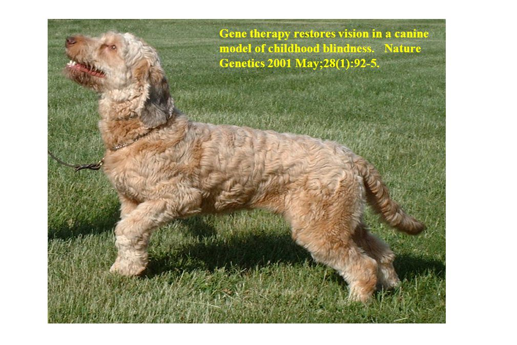 Gene therapy restores vision in a canine model of childhood blindness. Nature Genetics 2001 May;28(1):92-5.