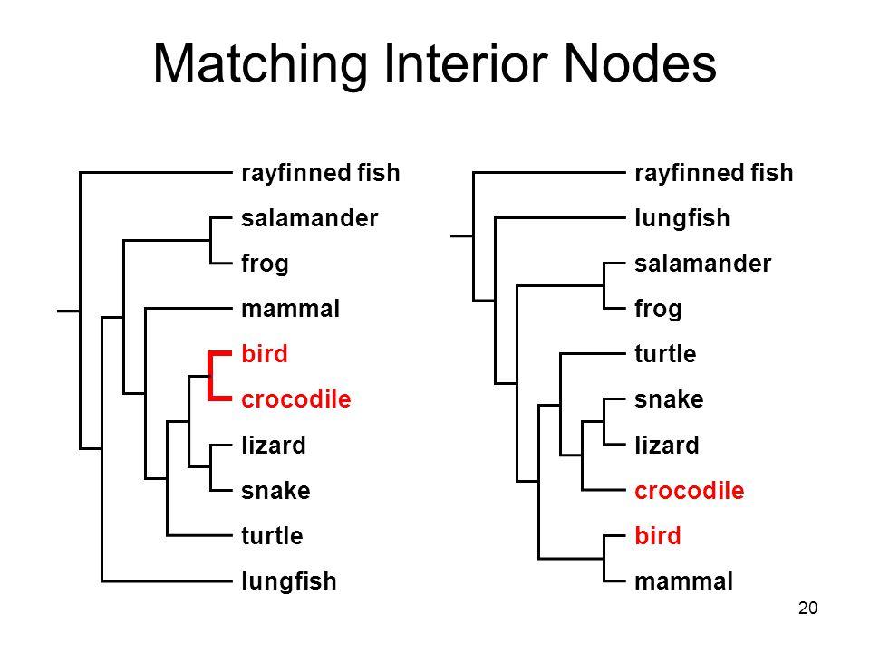 20 Matching Interior Nodes rayfinned fish lungfish salamander frog mammal turtle bird crocodile lizard snake rayfinned fish mammal lungfish salamander frog bird turtle snake lizard crocodile