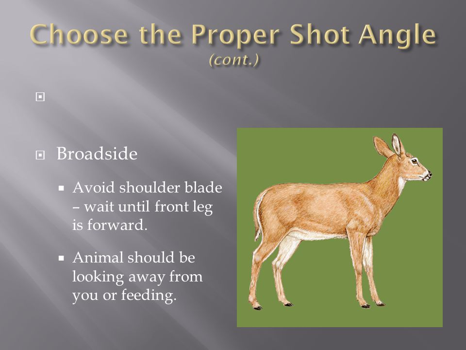   Broadside  Avoid shoulder blade – wait until front leg is forward.  Animal should be looking away from you or feeding.