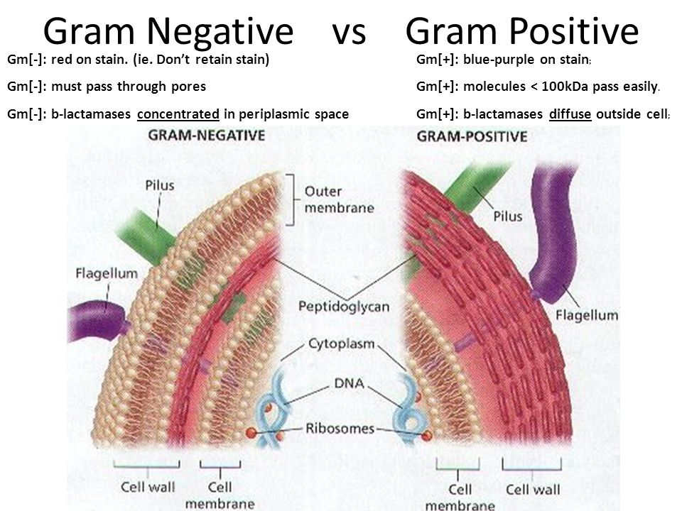 Gram Negative vs Gram Positive Gm[-]: red on stain. (ie. Don't retain stain)Gm[+]: blue-purple on stain ; Gm[-]: must pass through poresGm[+]: molecul