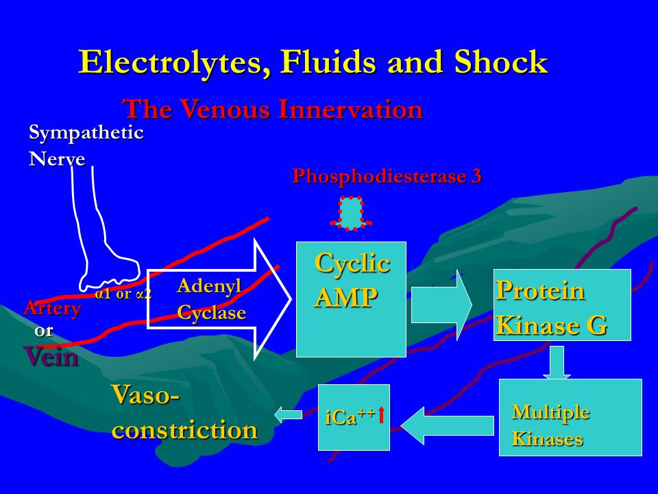 Electrolytes, Fluids and Shock The Venous Innervation Artery Sympathetic Nerve α1 or α2 Vein or Adenyl Cyclase Cyclic AMP Protein Kinase G Phosphodies