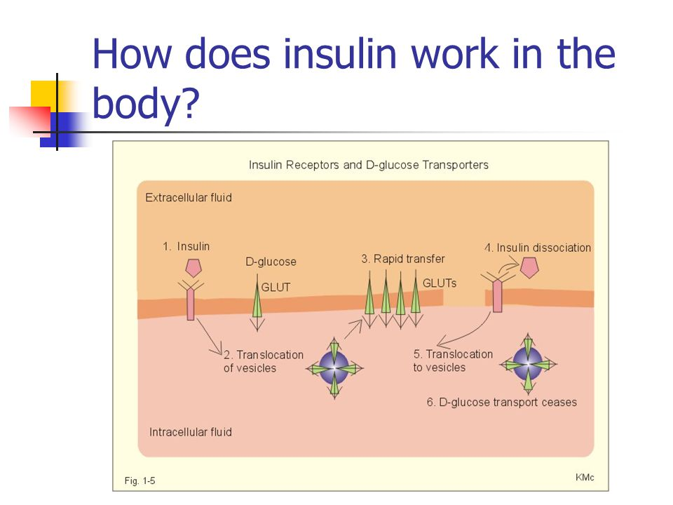 How does insulin work in the body?