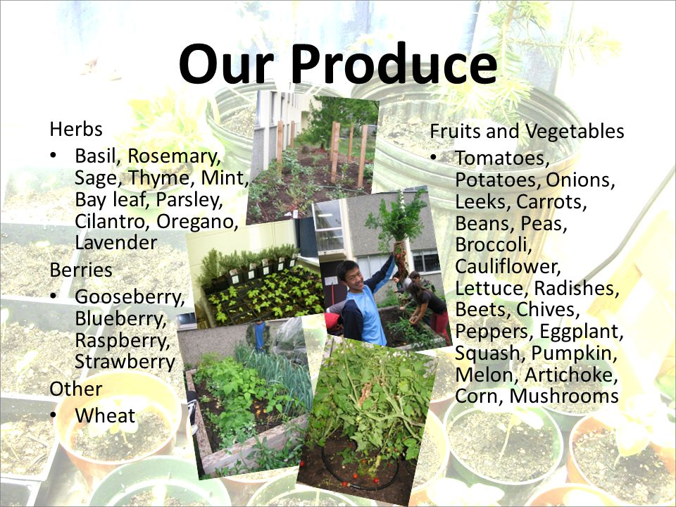 Our Produce Fruits and Vegetables Tomatoes, Potatoes, Onions, Leeks, Carrots, Beans, Peas, Broccoli, Cauliflower, Lettuce, Radishes, Beets, Chives, Peppers, Eggplant, Squash, Pumpkin, Melon, Artichoke, Corn, Mushrooms Herbs Basil, Rosemary, Sage, Thyme, Mint, Bay leaf, Parsley, Cilantro, Oregano, Lavender Berries Gooseberry, Blueberry, Raspberry, Strawberry Other Wheat