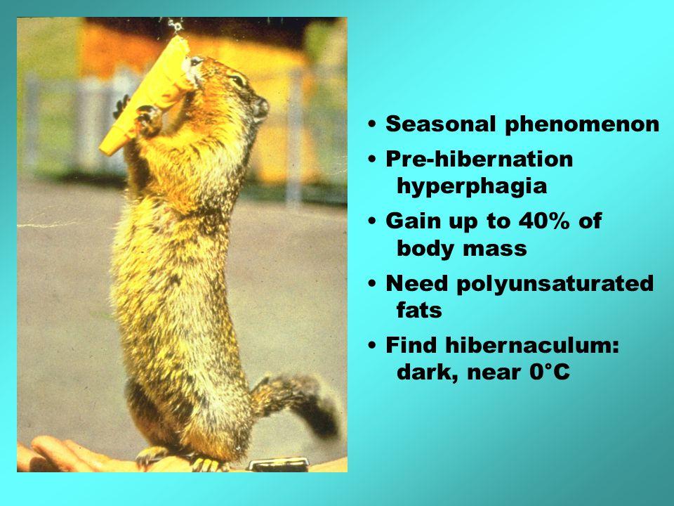 Seasonal phenomenon Pre-hibernation hyperphagia Gain up to 40% of body mass Need polyunsaturated fats Find hibernaculum: dark, near 0°C