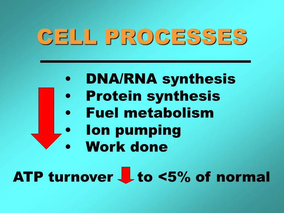CELL PROCESSES DNA/RNA synthesis Protein synthesis Fuel metabolism Ion pumping Work done ATP turnover to <5% of normal