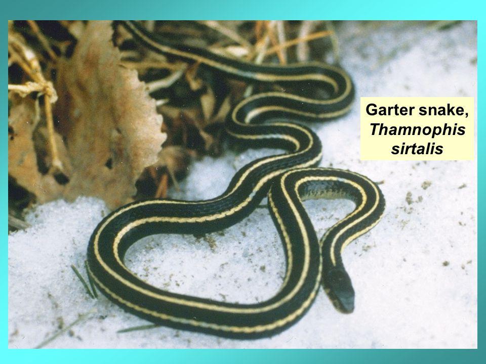 Garter snake, Thamnophis sirtalis