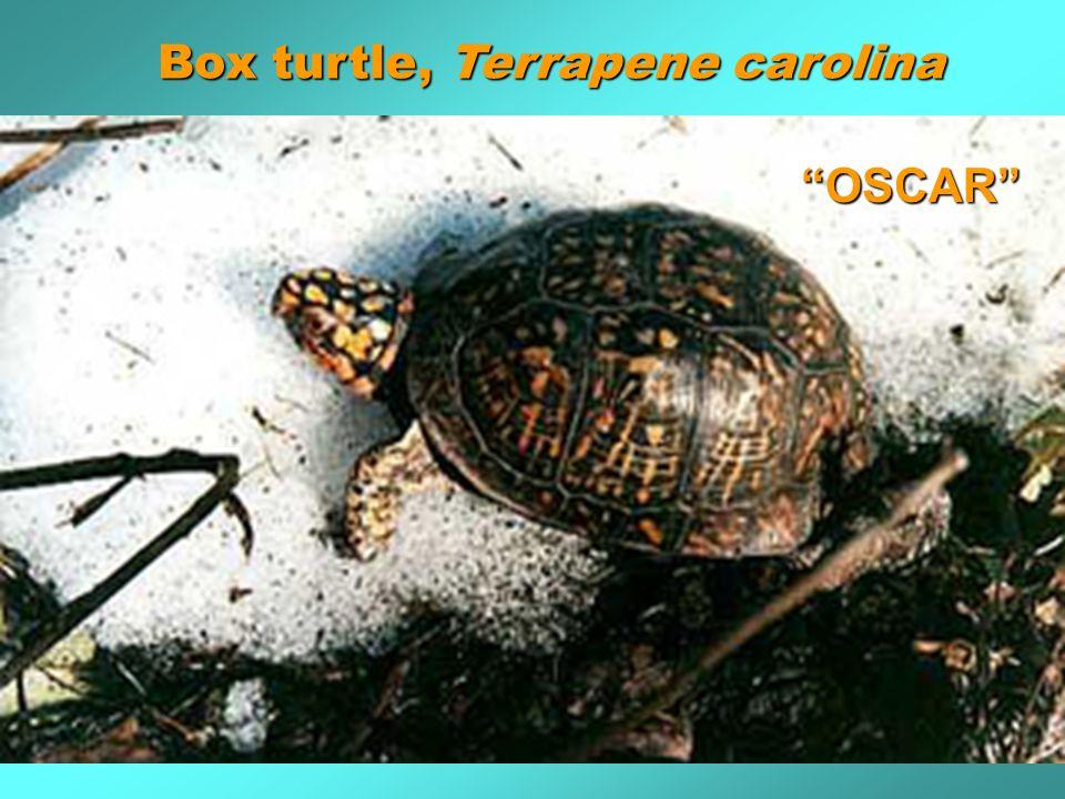 Box turtle, Terrapene carolina OSCAR