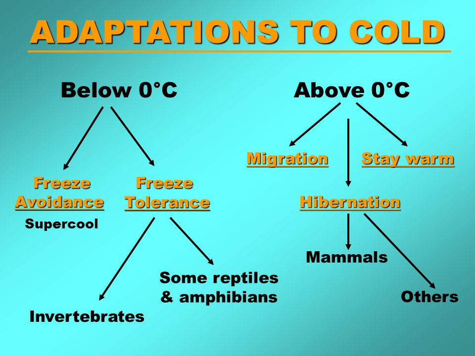 ADAPTATIONS TO COLD Below 0°C Freeze FreezeAvoidanceFreezeTolerance Hibernation Invertebrates Some reptiles & amphibians Migration Mammals Above 0°C Others Stay warm Supercool