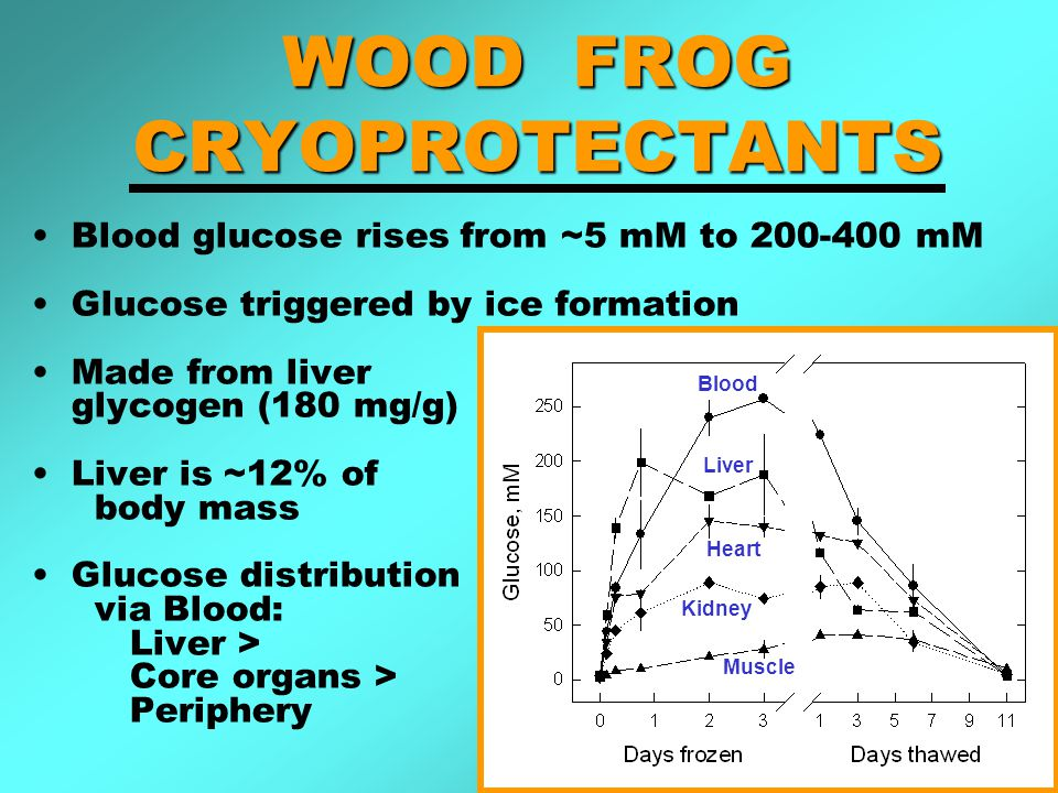 WOOD FROG CRYOPROTECTANTS Blood glucose rises from ~5 mM to mM Glucose triggered by ice formation Made from liver glycogen (180 mg/g) Liver is ~12% of body mass Glucose distribution via Blood: Liver > Core organs > Periphery Blood Liver Heart Kidney Muscle