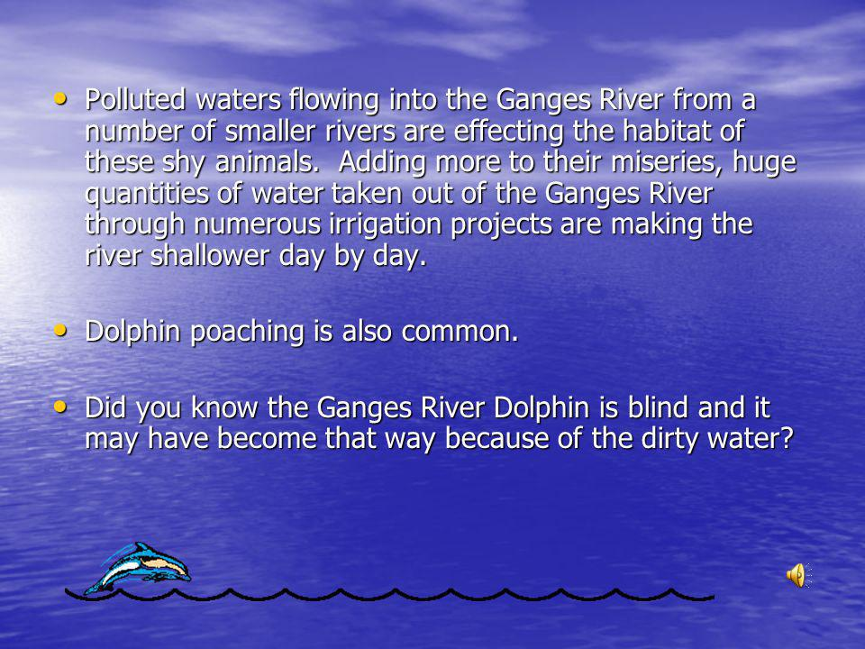 Impact on Ganges River Dolphin The Ganges River is among the most polluted rivers in India The Ganges River is among the most polluted rivers in India