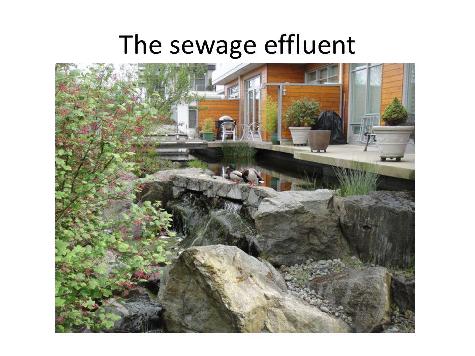 The sewage effluent