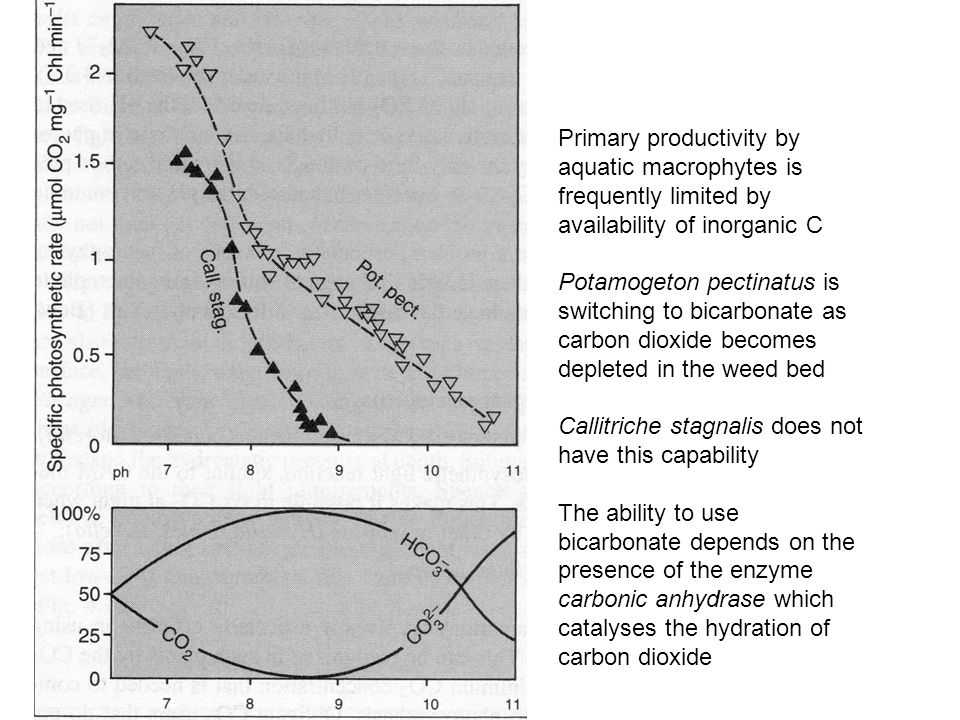 Primary productivity by aquatic macrophytes is frequently limited by availability of inorganic C Potamogeton pectinatus is switching to bicarbonate as carbon dioxide becomes depleted in the weed bed Callitriche stagnalis does not have this capability The ability to use bicarbonate depends on the presence of the enzyme carbonic anhydrase which catalyses the hydration of carbon dioxide