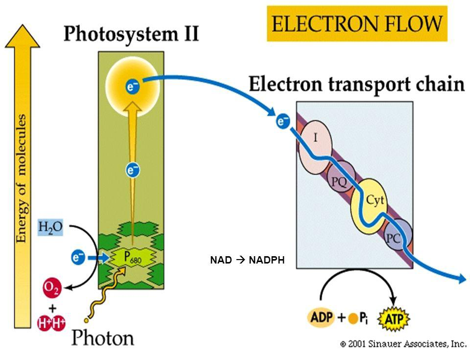 Higher Lower Energy of electron Chlorophyll Photon e–e– Carrier #1 #2 Electron transport chain Carrier #3 In photosystem II, excited electrons feed an electron transport chain.
