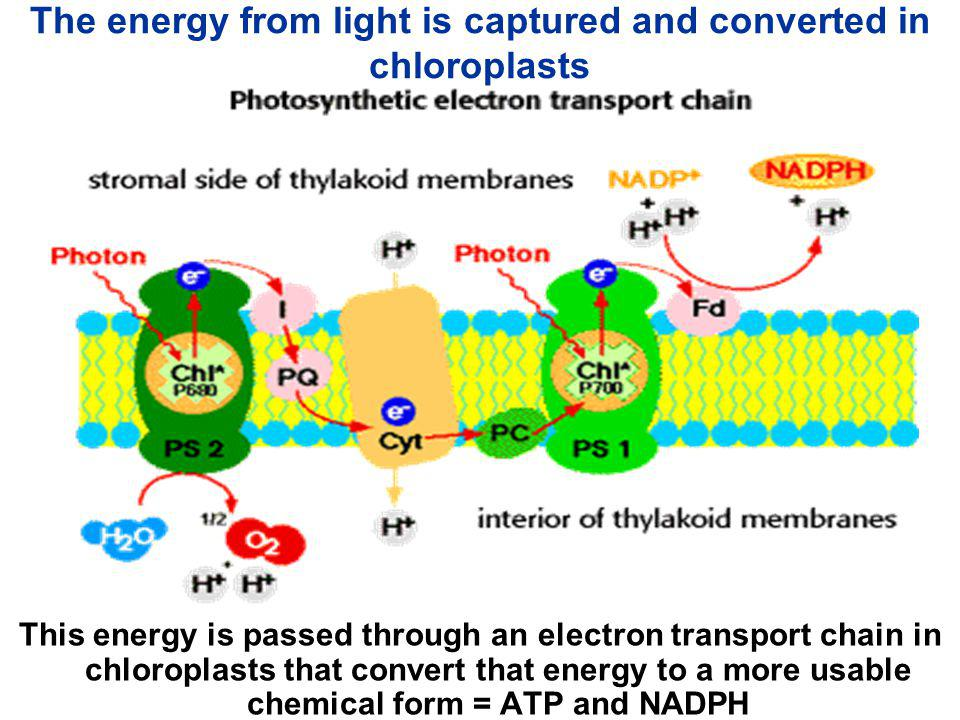 Oxidation of H 2 O provides electrons 2 H 2 O --> 4 H + + 4 e - + O 2 n Photosystem II is the only known protein complex that can rip apart (oxidize) water n All of the earth's oxygen originates this way!!!!!!!!!!!