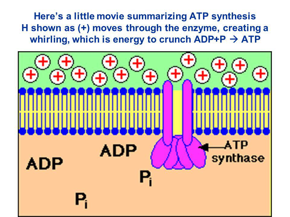 H+H+ H+H+ H+H+ H+H+ H+H+ THE STRUCTURE Of Enzyme ATP SYNTHASE Inside Thylakoid Chloroplast Stroma H+H+ ADP + P i ATP Rod F 1 unit F O unit H 2 O torn apart donates loads of Hydrogen which is useful to make ATP +