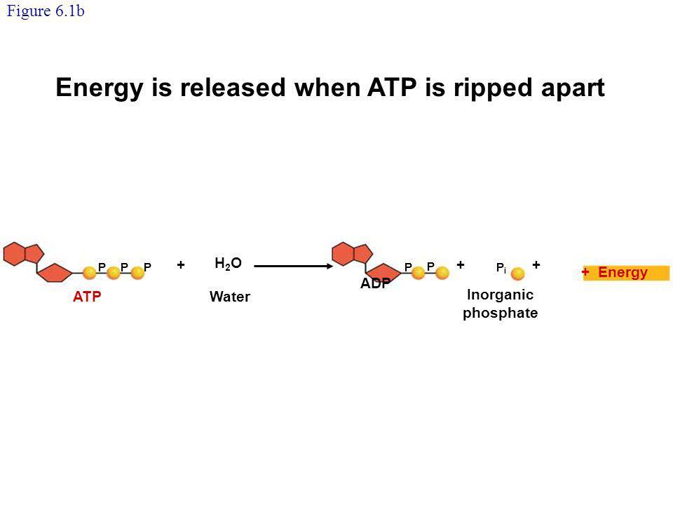 Ribose Adenine Phosphate groups Ribose Adenine ATP consists of adenine, ribose, and three phosphate groups.
