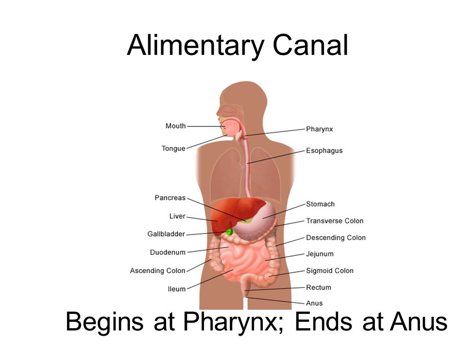 Alimentary Canal Begins at Pharynx; Ends at Anus